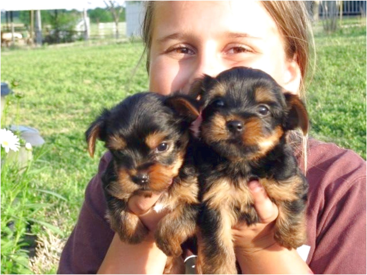 teacup yorkie puppies for sale on craigslist