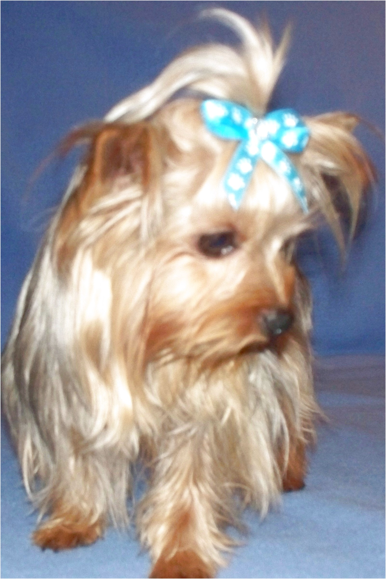 teacup yorkie puppies for sale ontario
