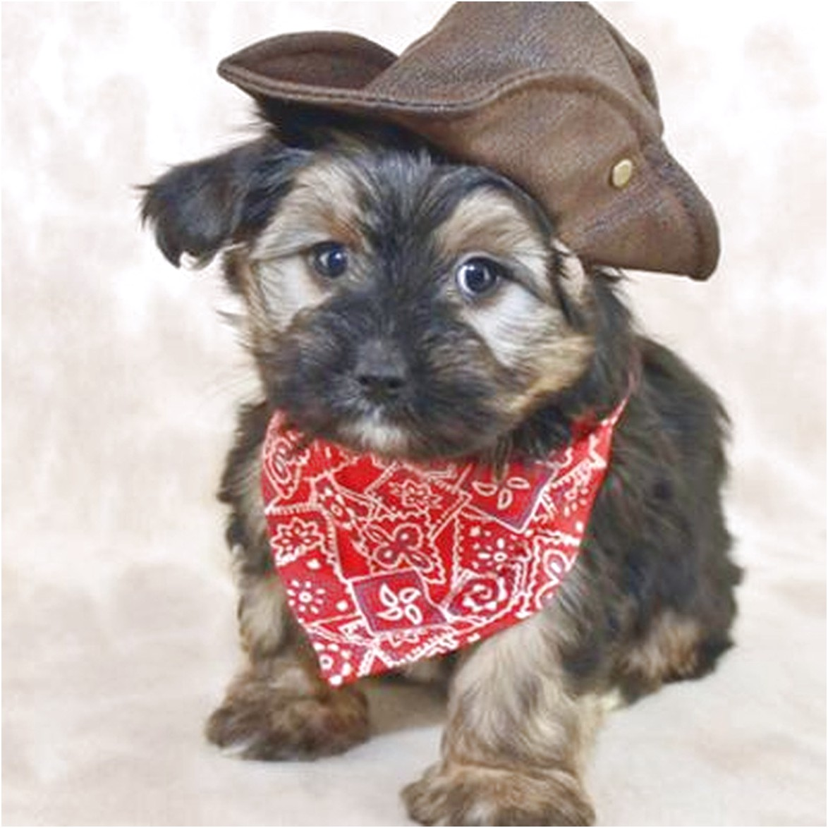 teacup yorkie puppies for sale or adoption