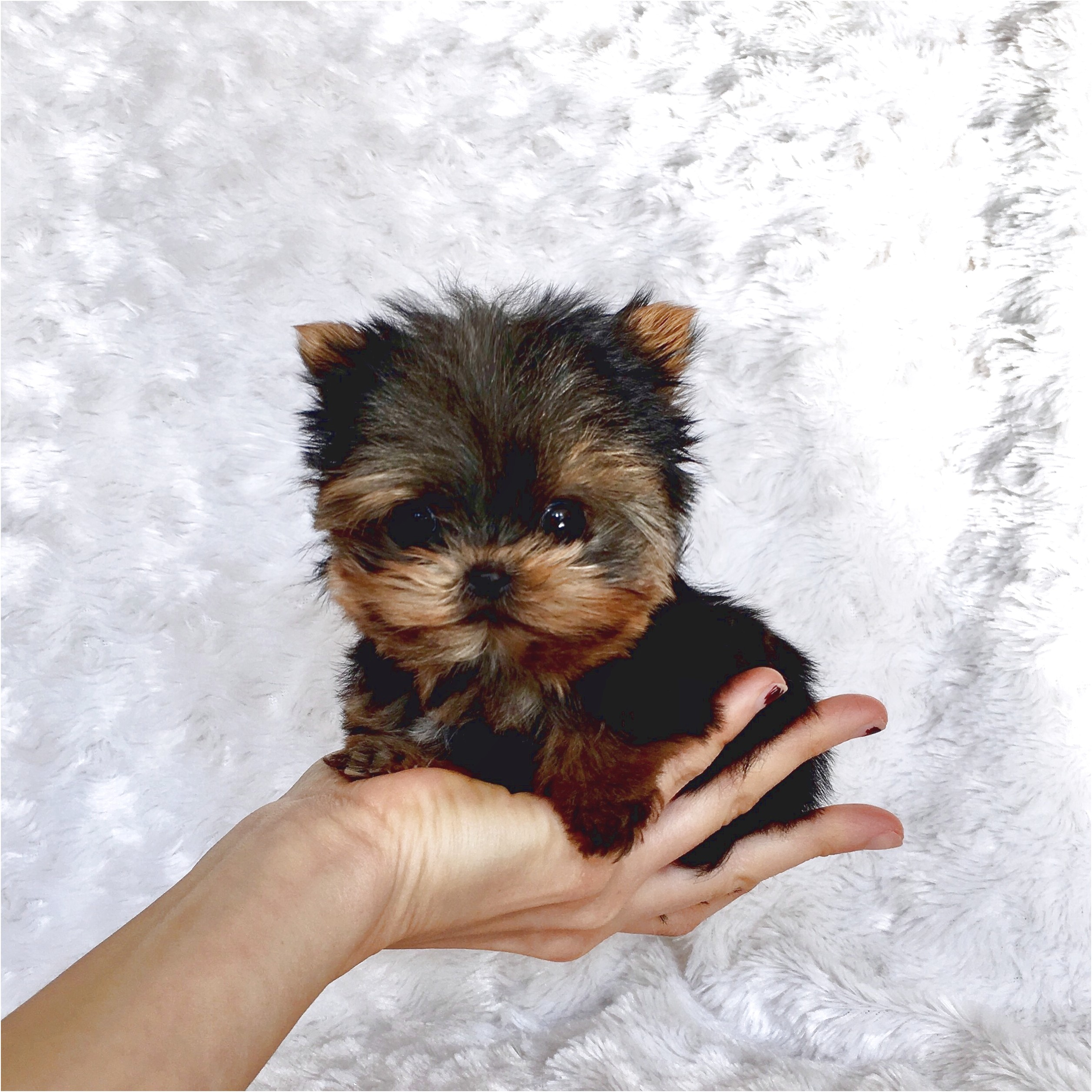teacup yorkie puppies for sale orlando fl
