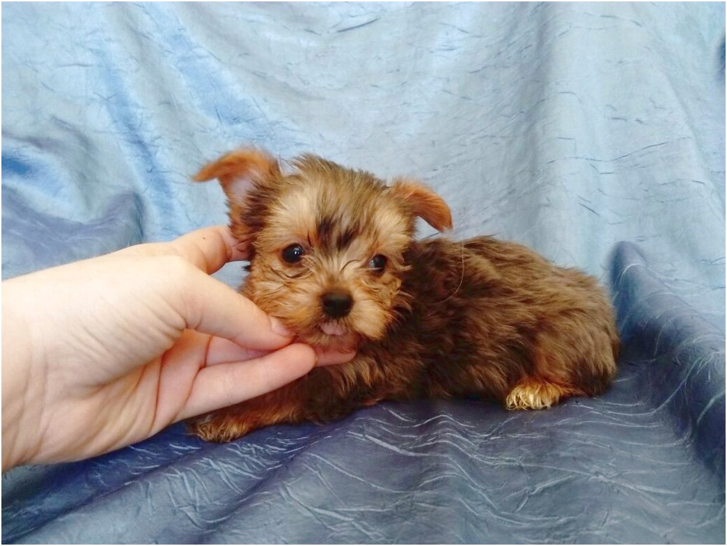 teacup yorkie puppies for sale peterborough