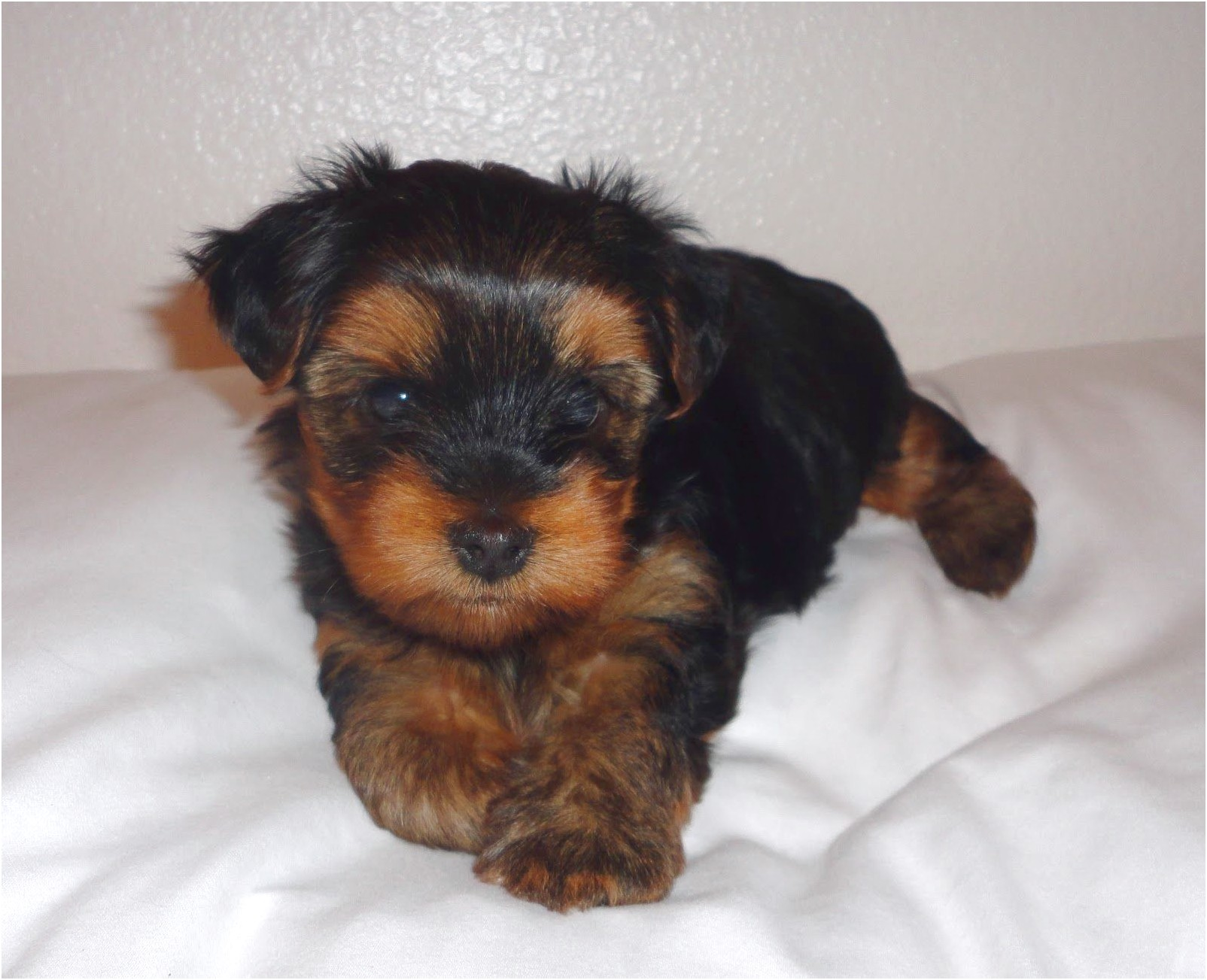 teacup yorkie puppies for sale qld