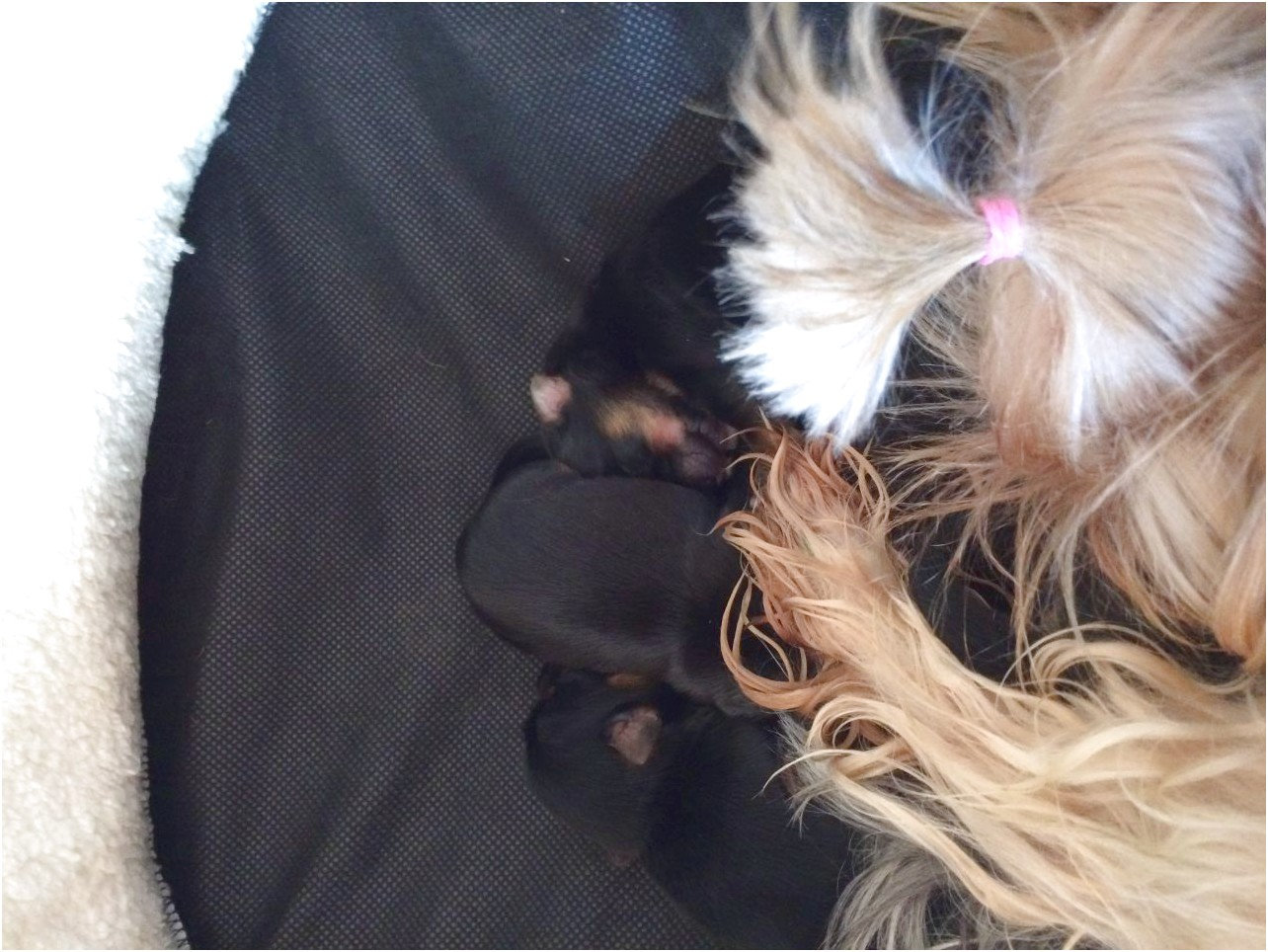 teacup yorkie puppies for sale raleigh nc