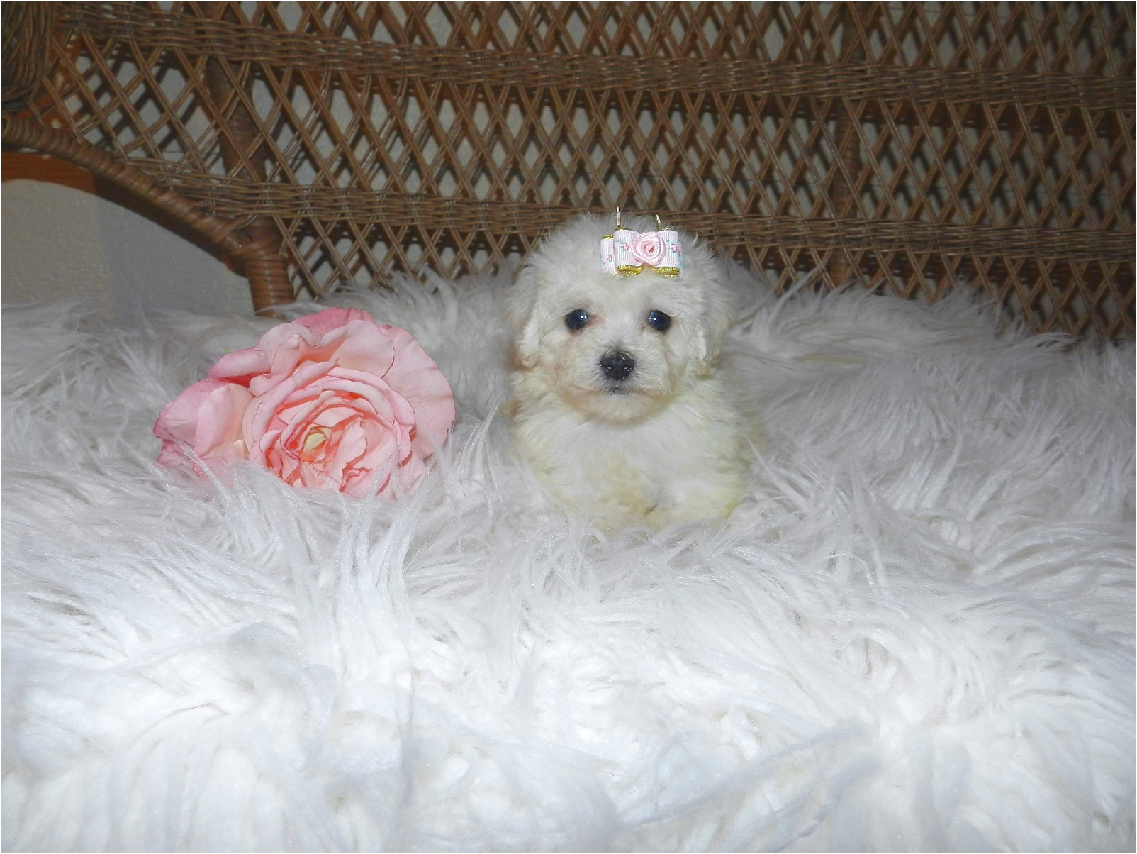 teacup yorkie puppies for sale real