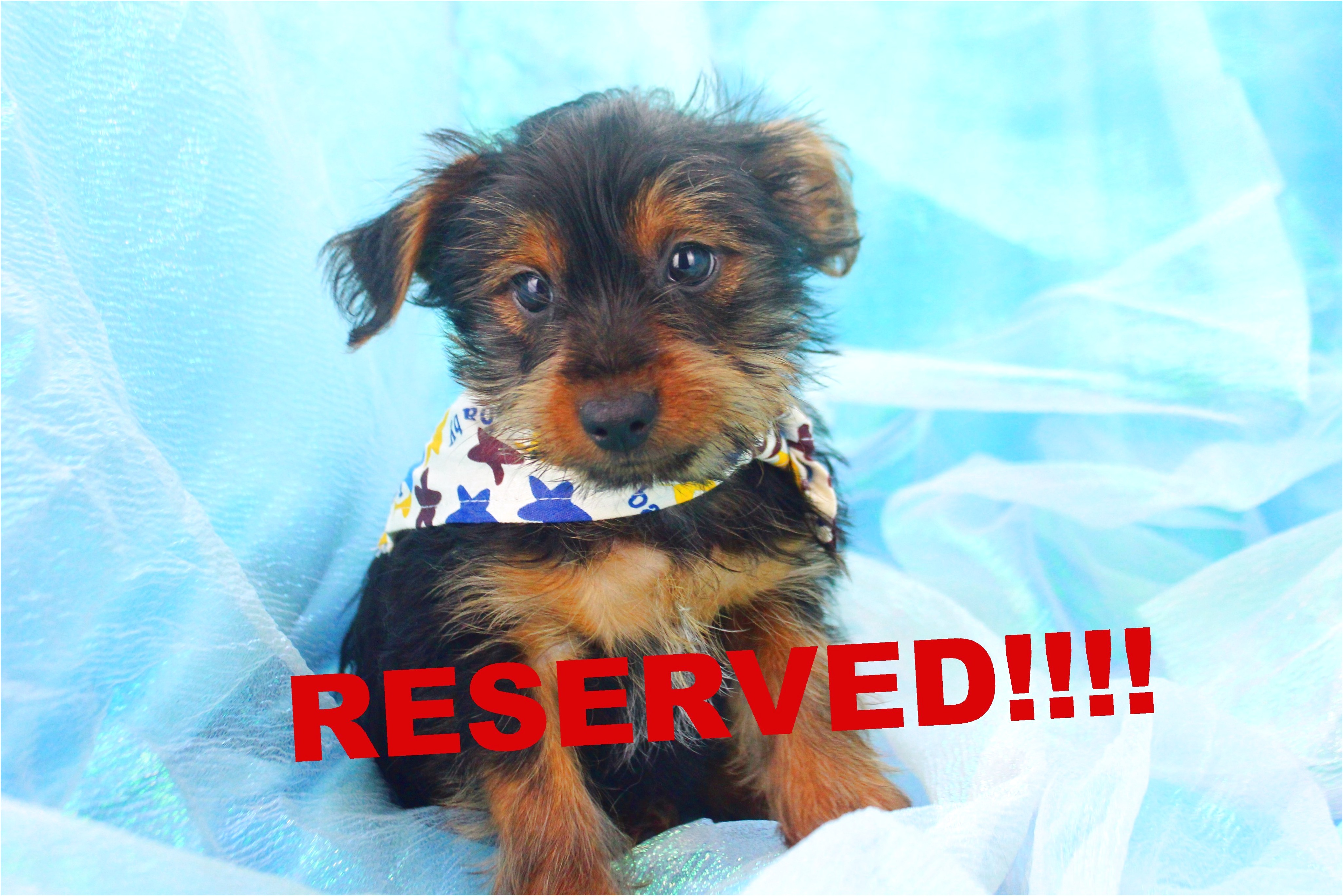 teacup yorkie puppies for sale richmond va