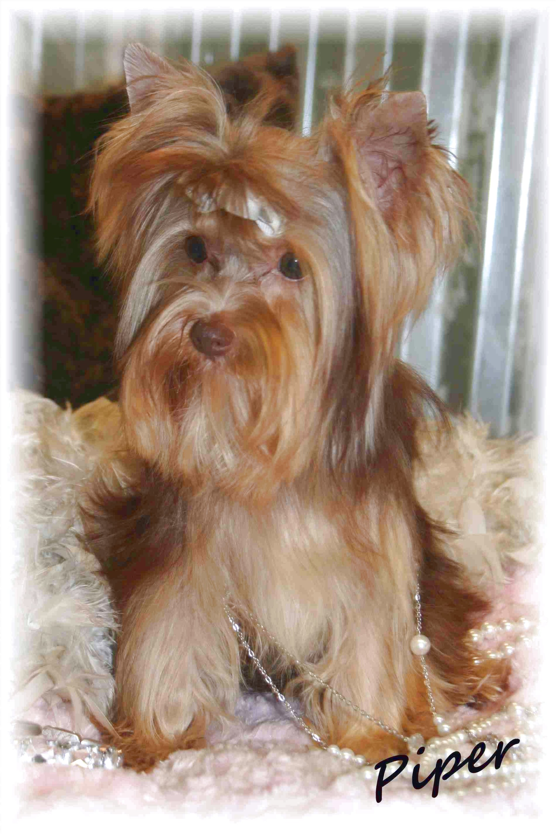 teacup yorkie puppies for sale sacramento ca