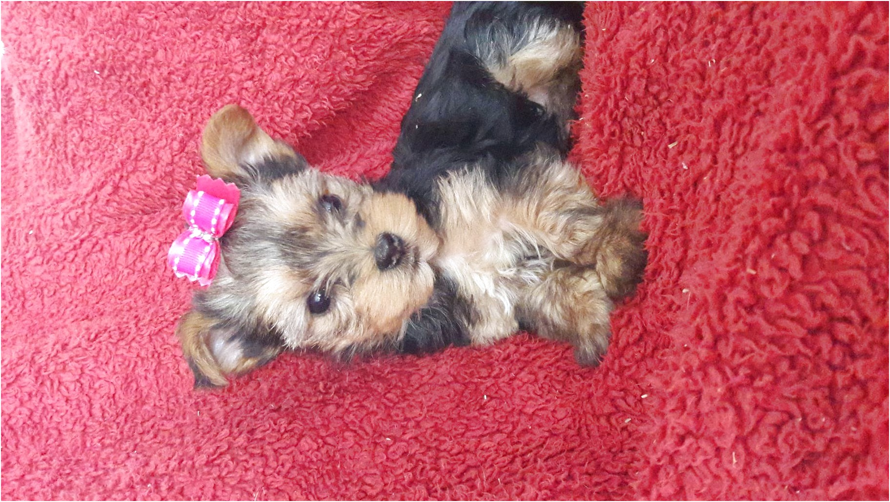 teacup yorkie puppies for sale sc