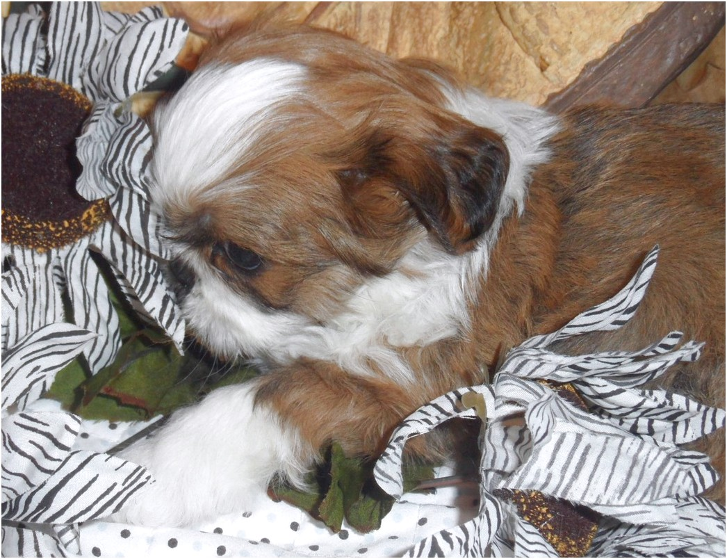 teacup yorkie puppies for sale sydney