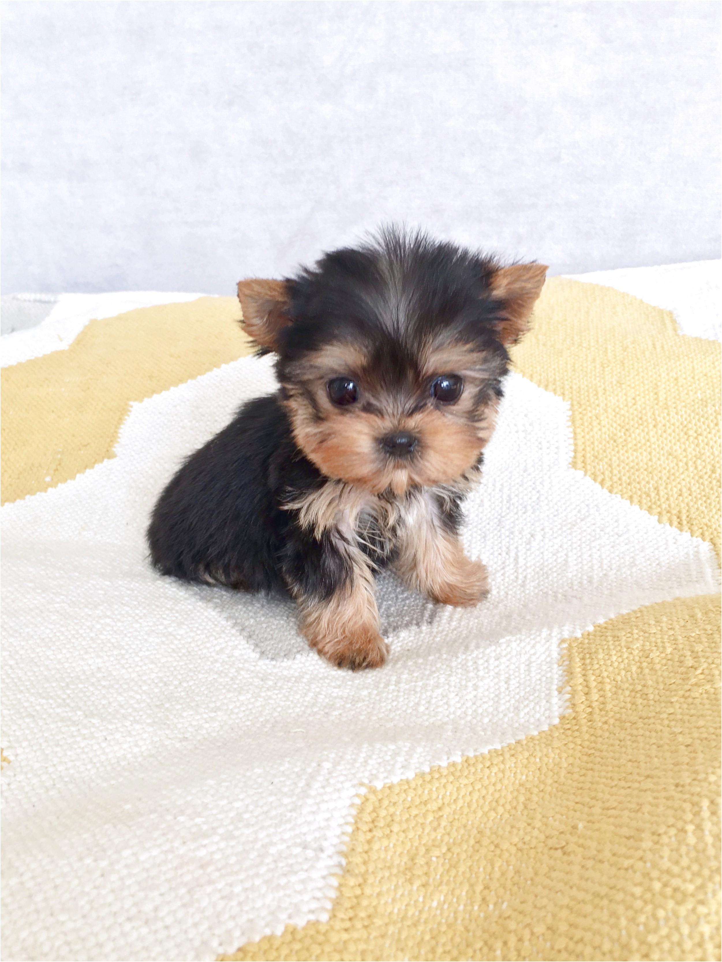 teacup yorkie puppies for sale under 500