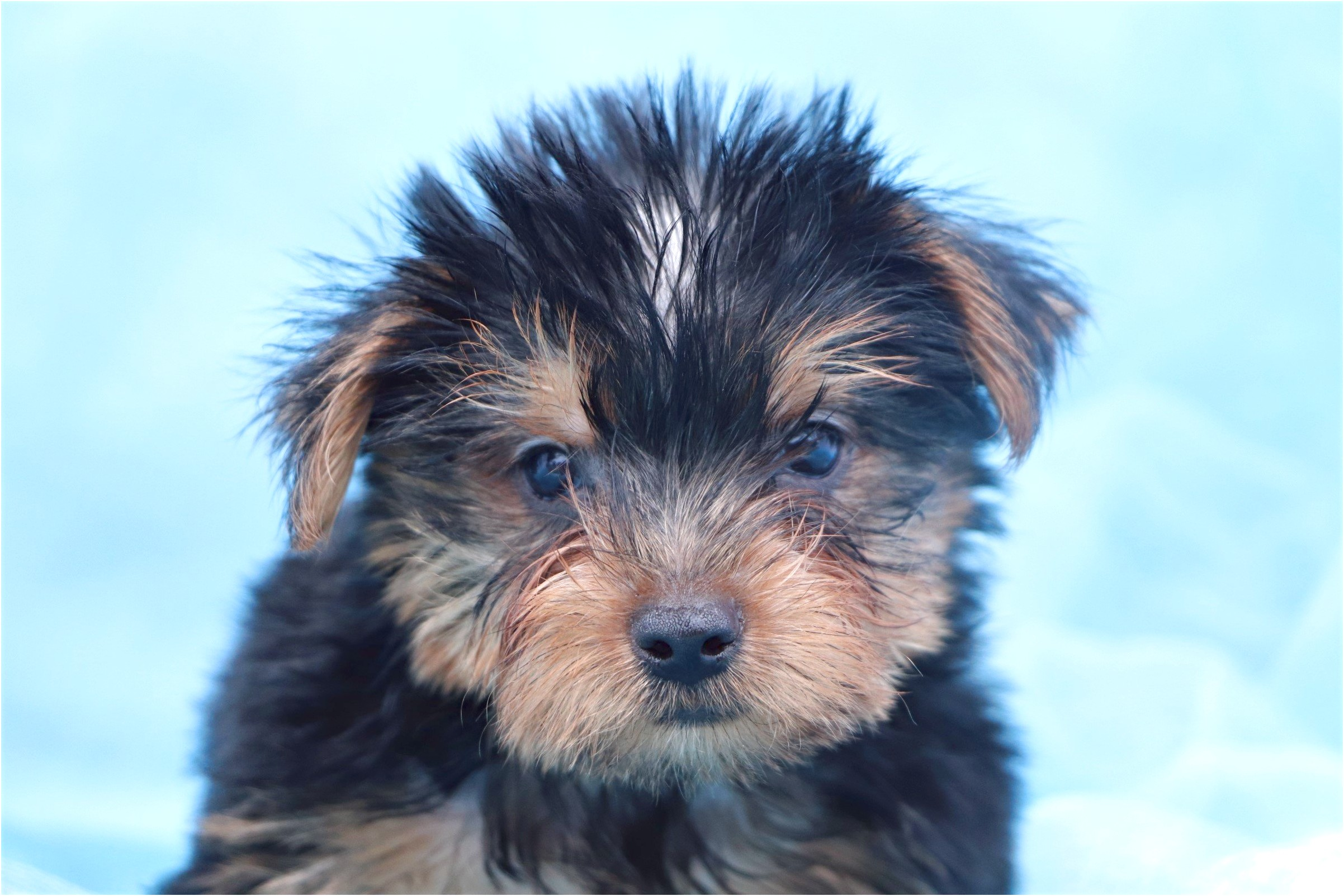 teacup yorkie puppies for sale usa