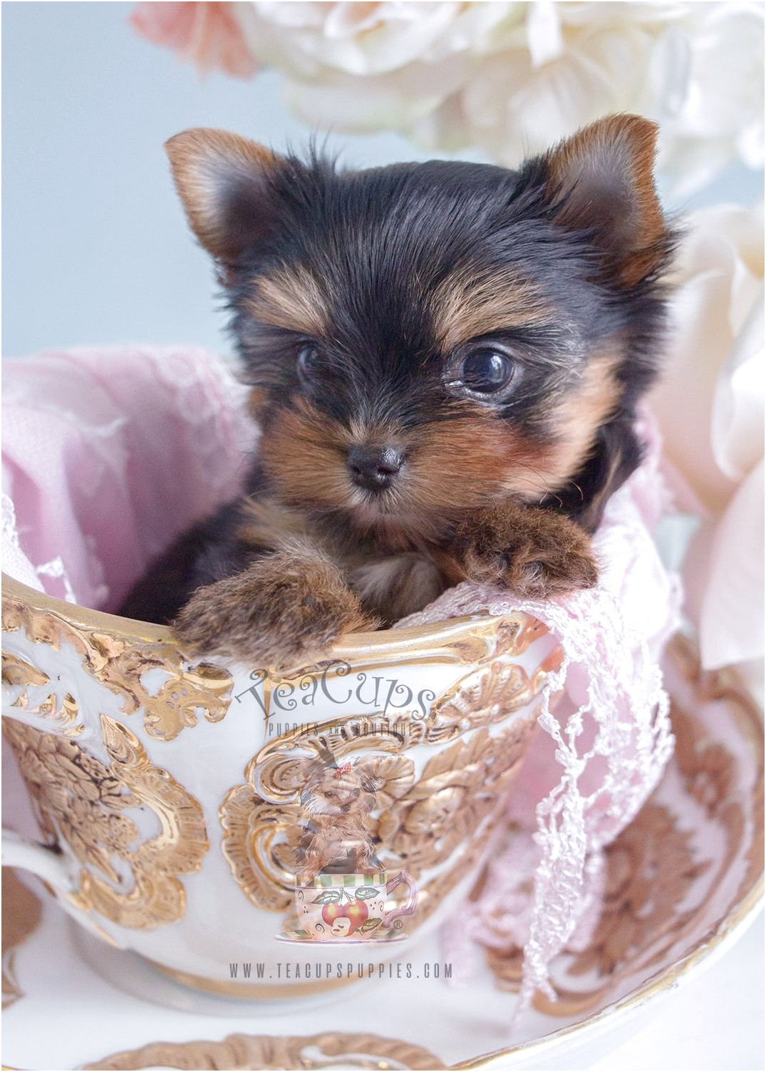 teacup yorkie puppies for sale wisconsin