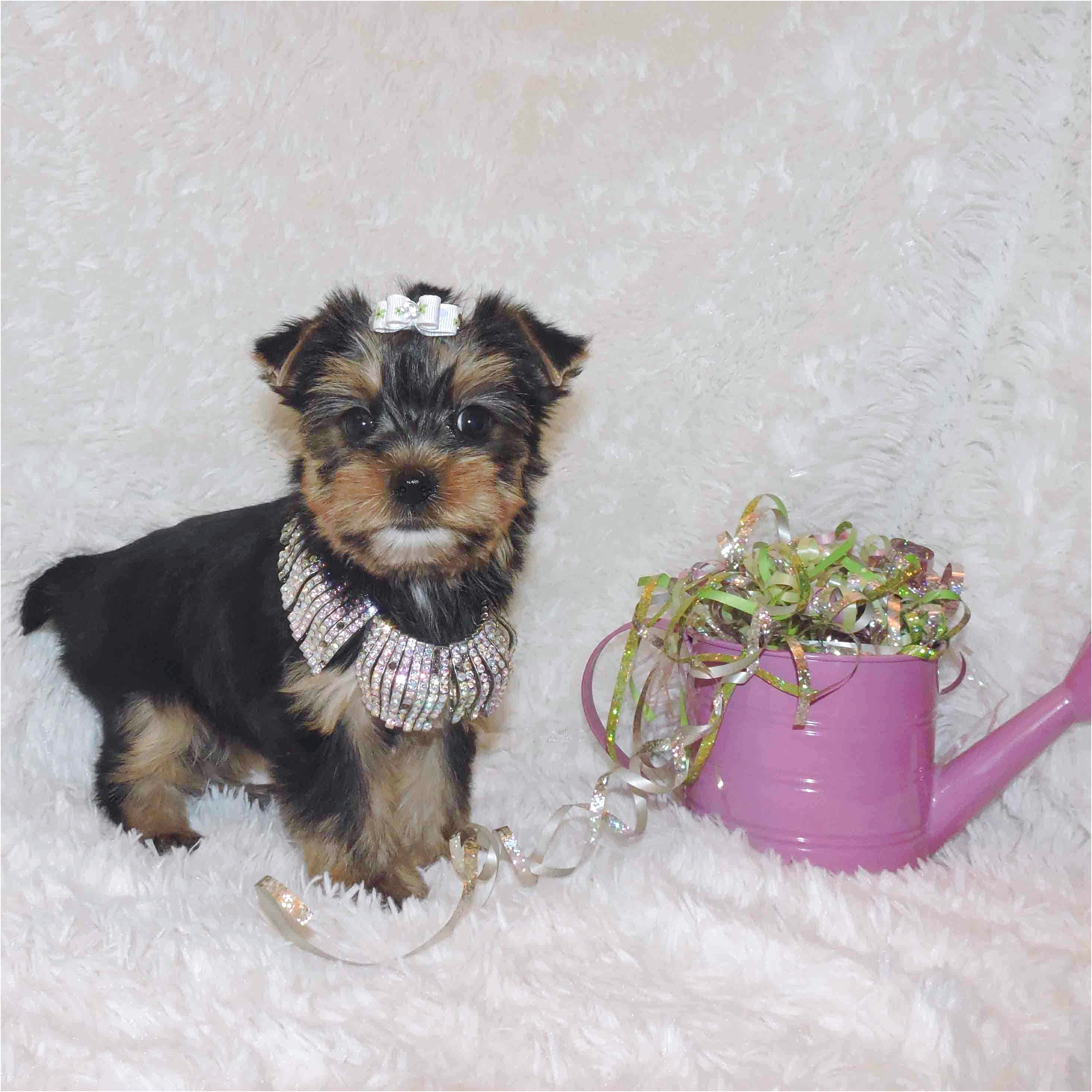 teacup yorkie puppies for sale wv