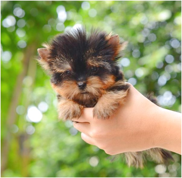 teacup yorkies for sale 2017