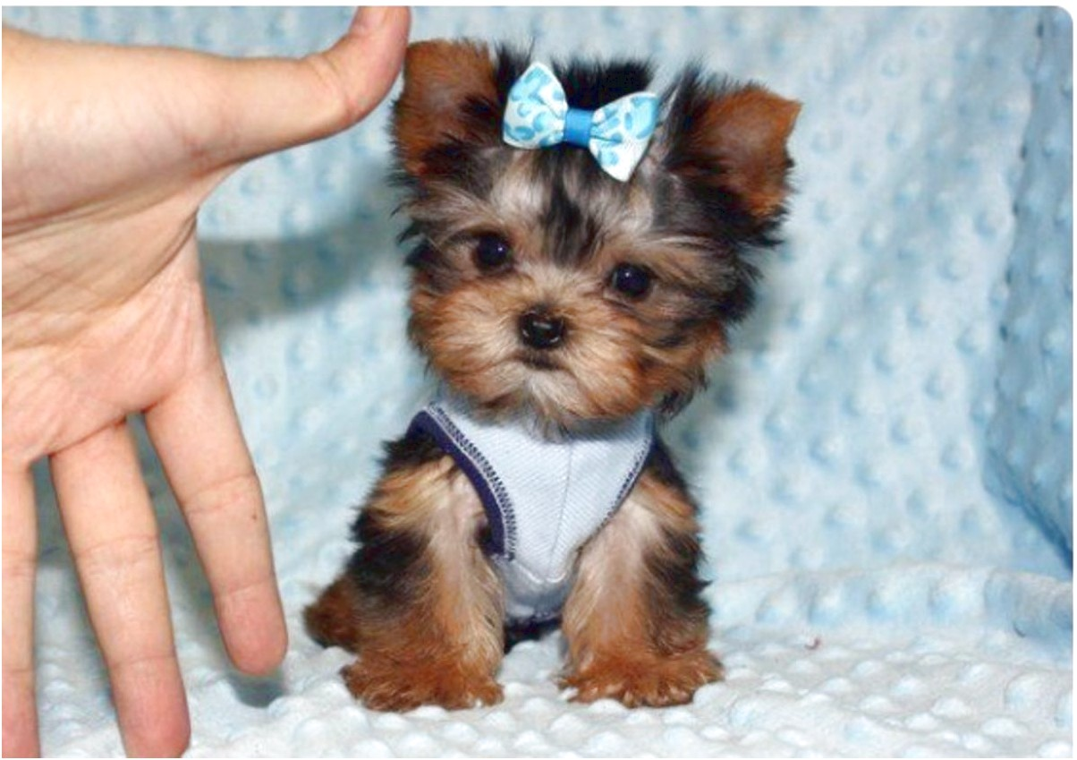 teacup yorkies for sale quebec