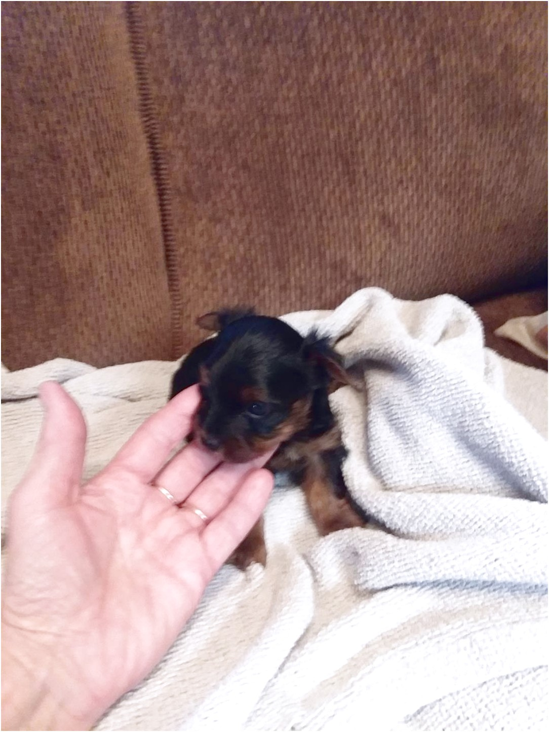 teacup yorkshire puppies for sale melbourne