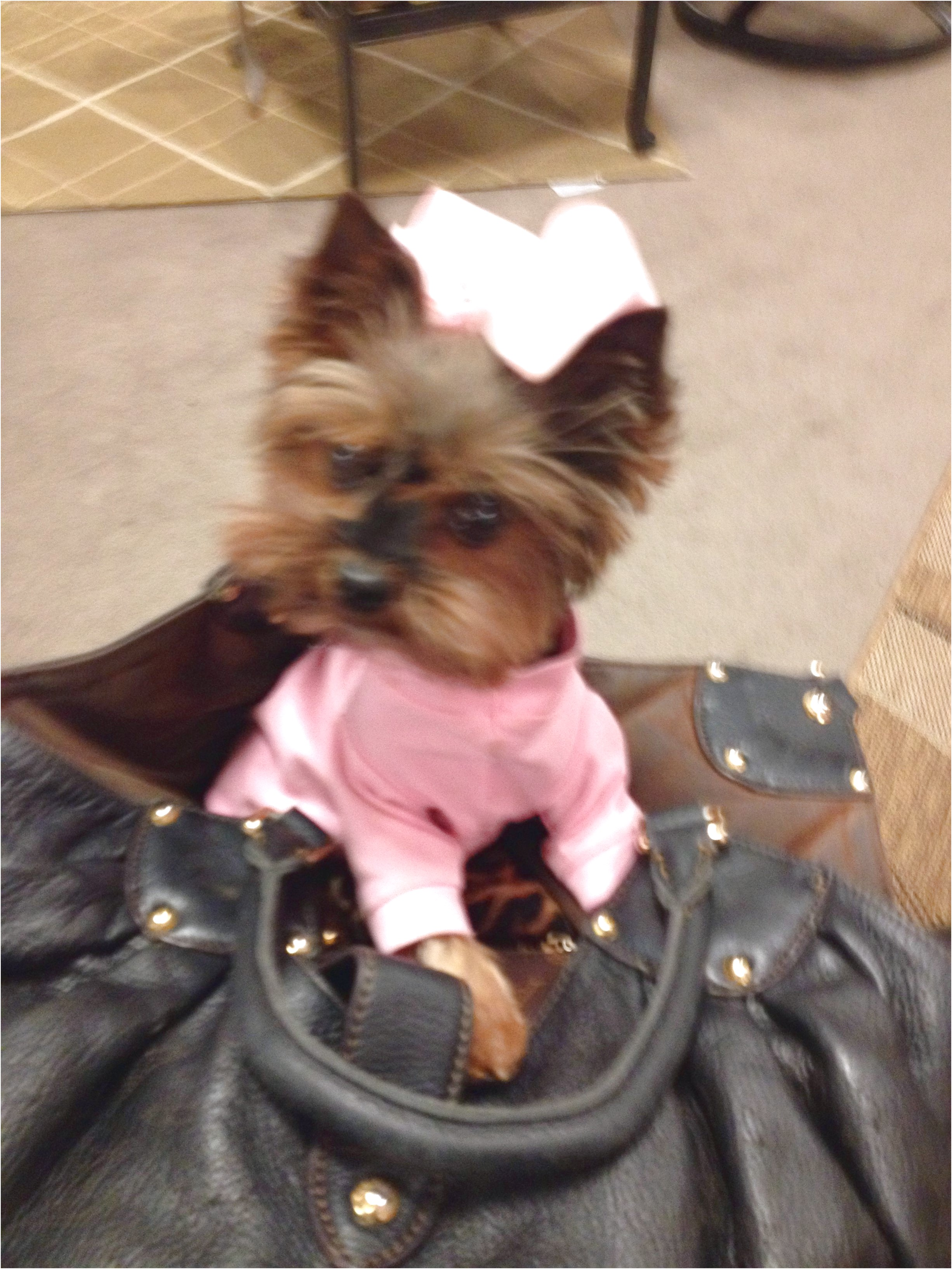 teacup yorkshire terrier for sale california