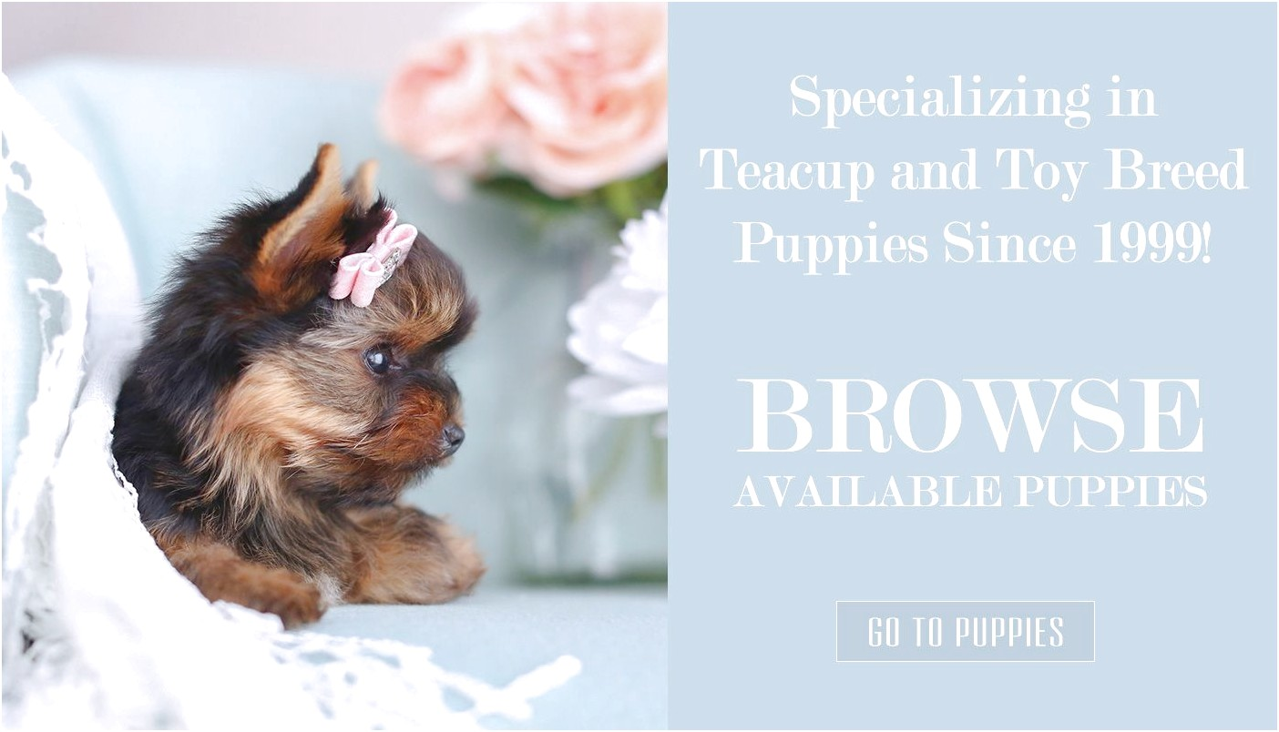 teacup yorkshire terrier for sale cardiff