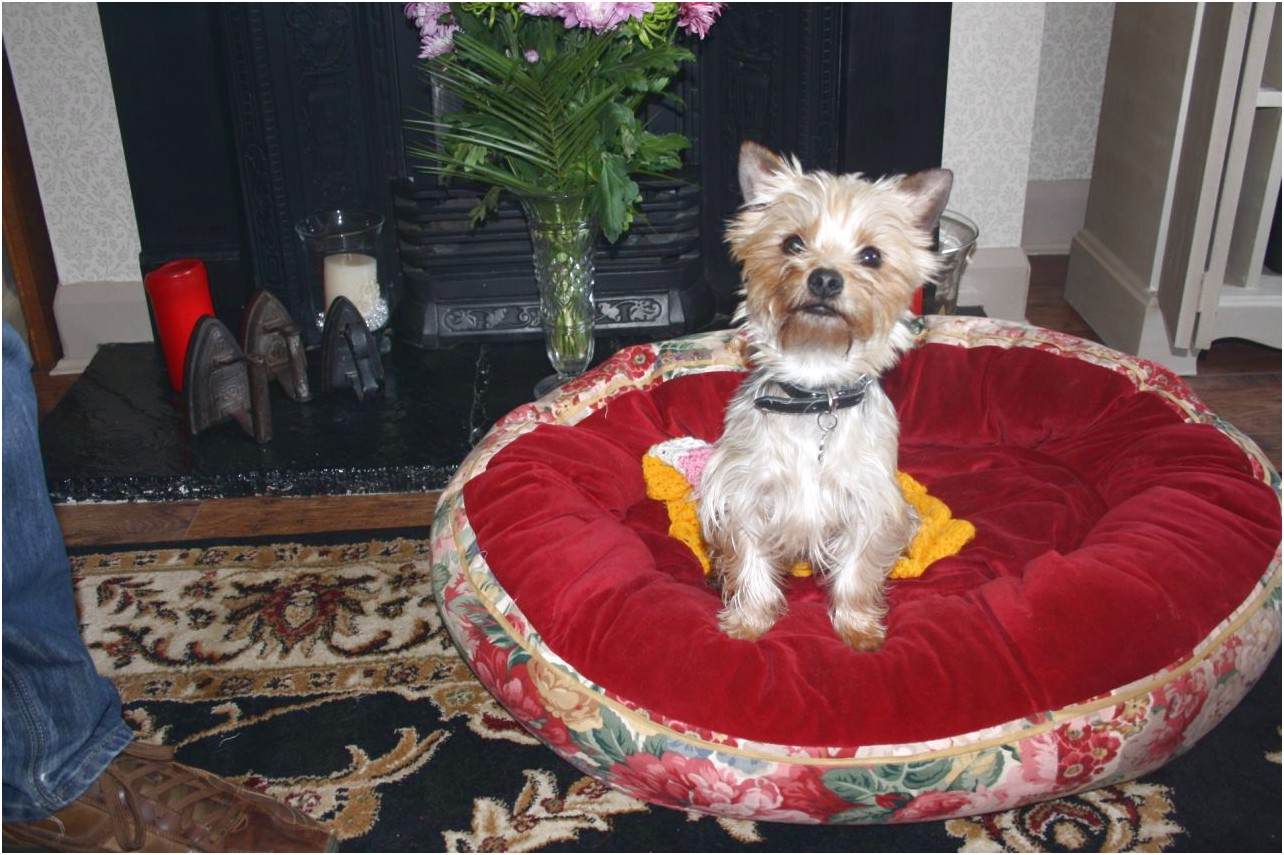 teacup yorkshire terrier for sale cornwall