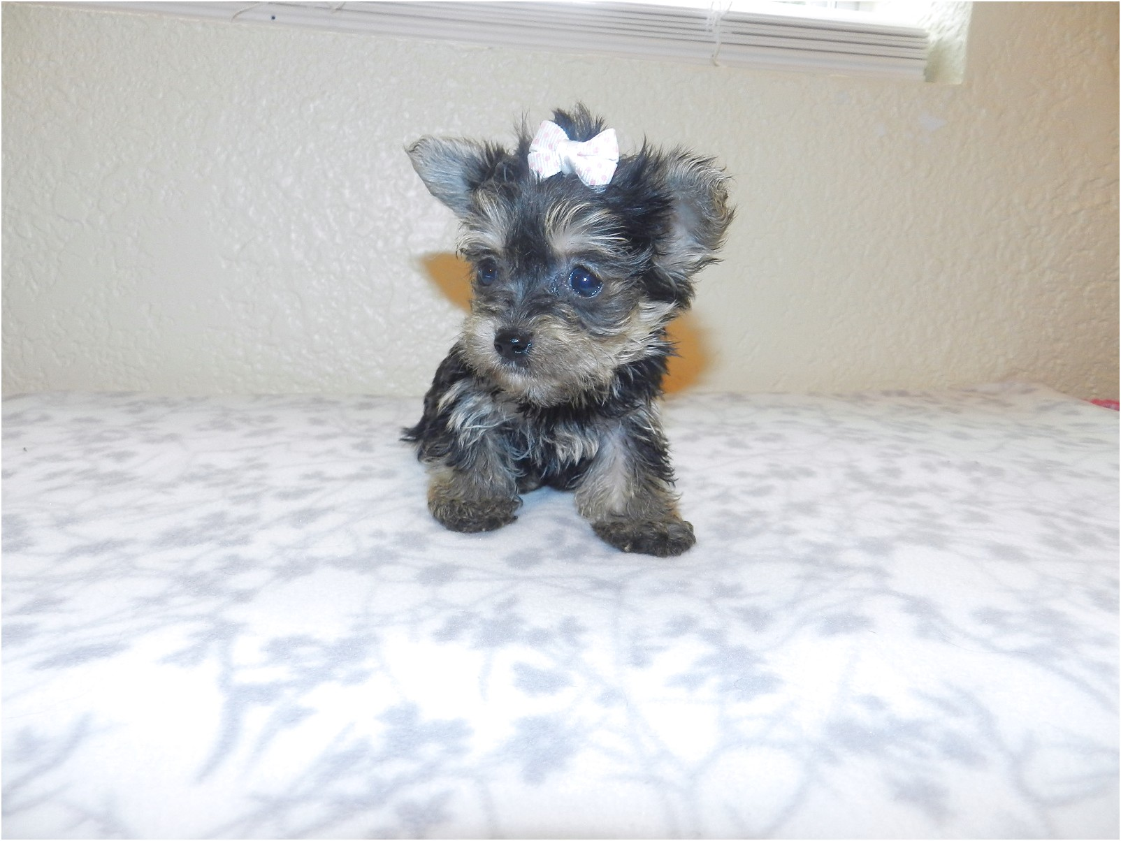 teacup yorkshire terrier for sale gloucestershire