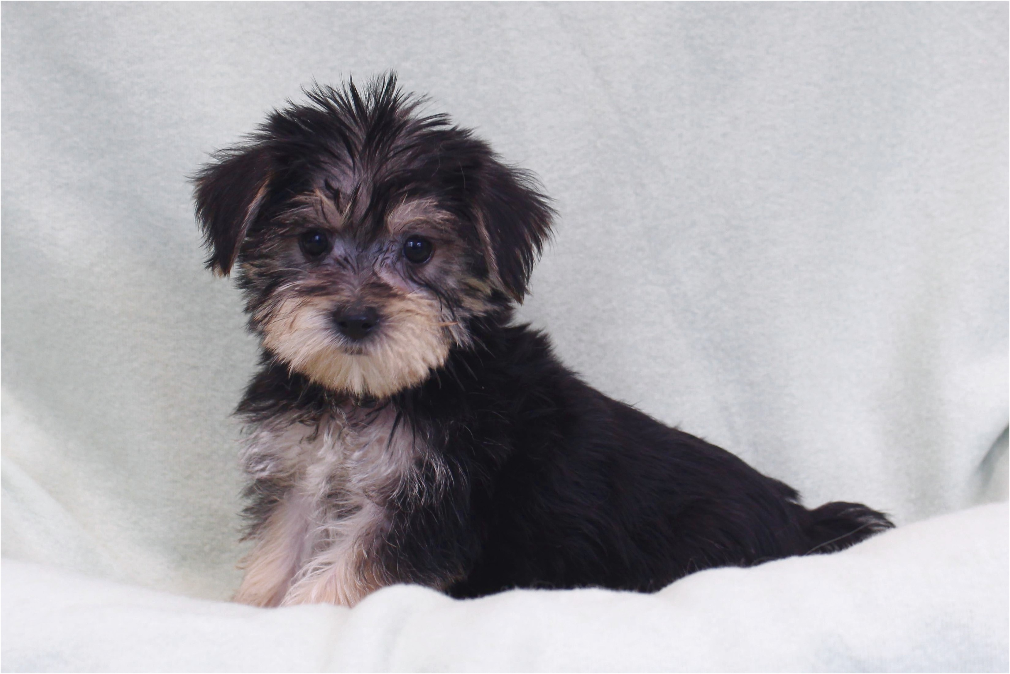 teacup yorkshire terrier for sale gumtree