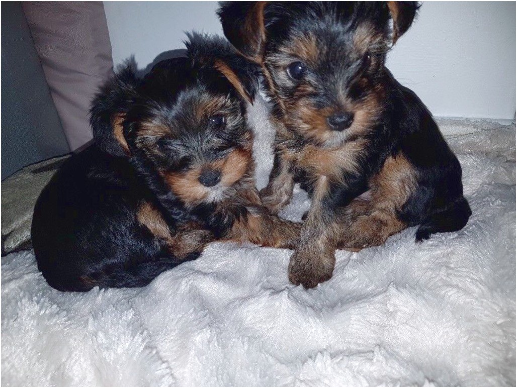 teacup yorkshire terrier for sale hampshire