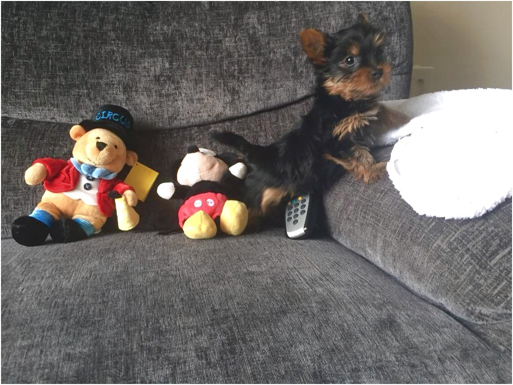 teacup yorkshire terrier for sale hertfordshire