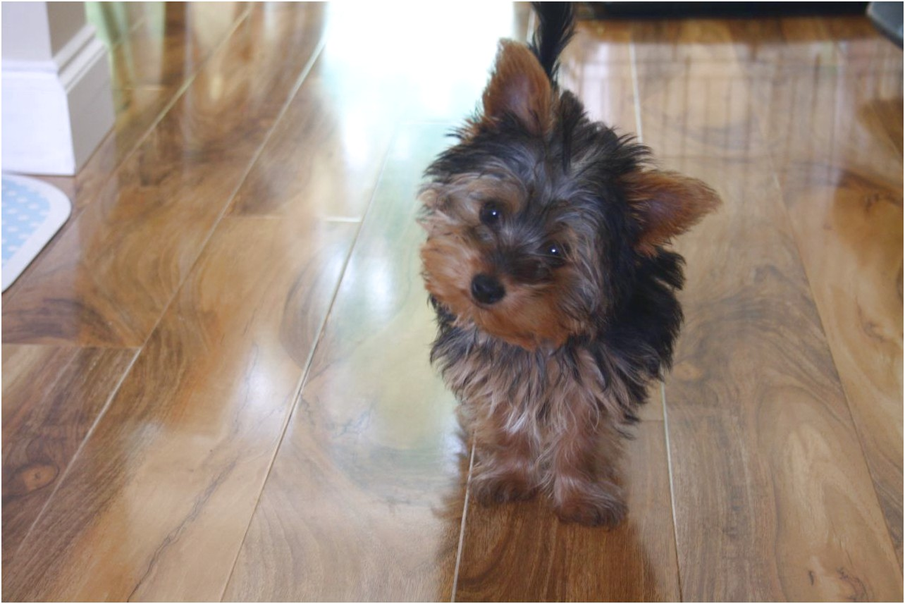 teacup yorkshire terrier for sale houston tx