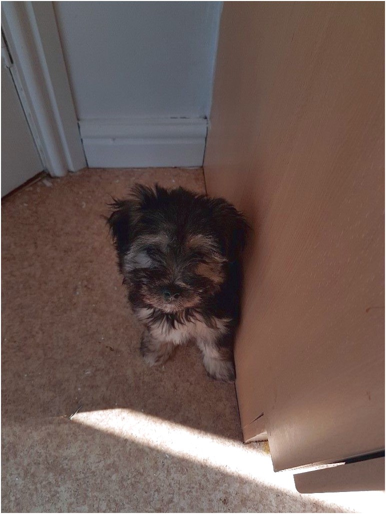 teacup yorkshire terrier for sale newcastle