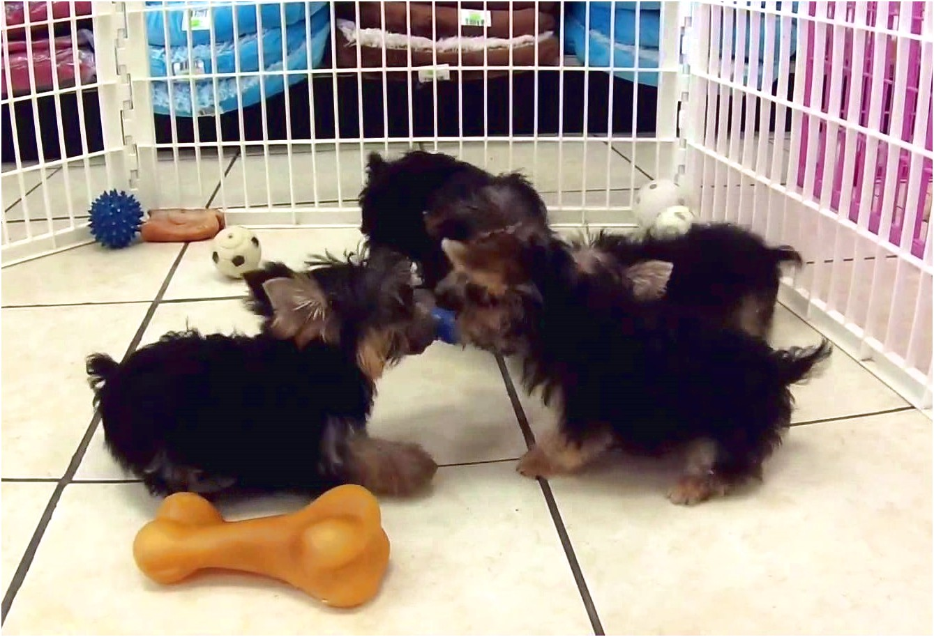 teacup yorkshire terrier for sale nsw