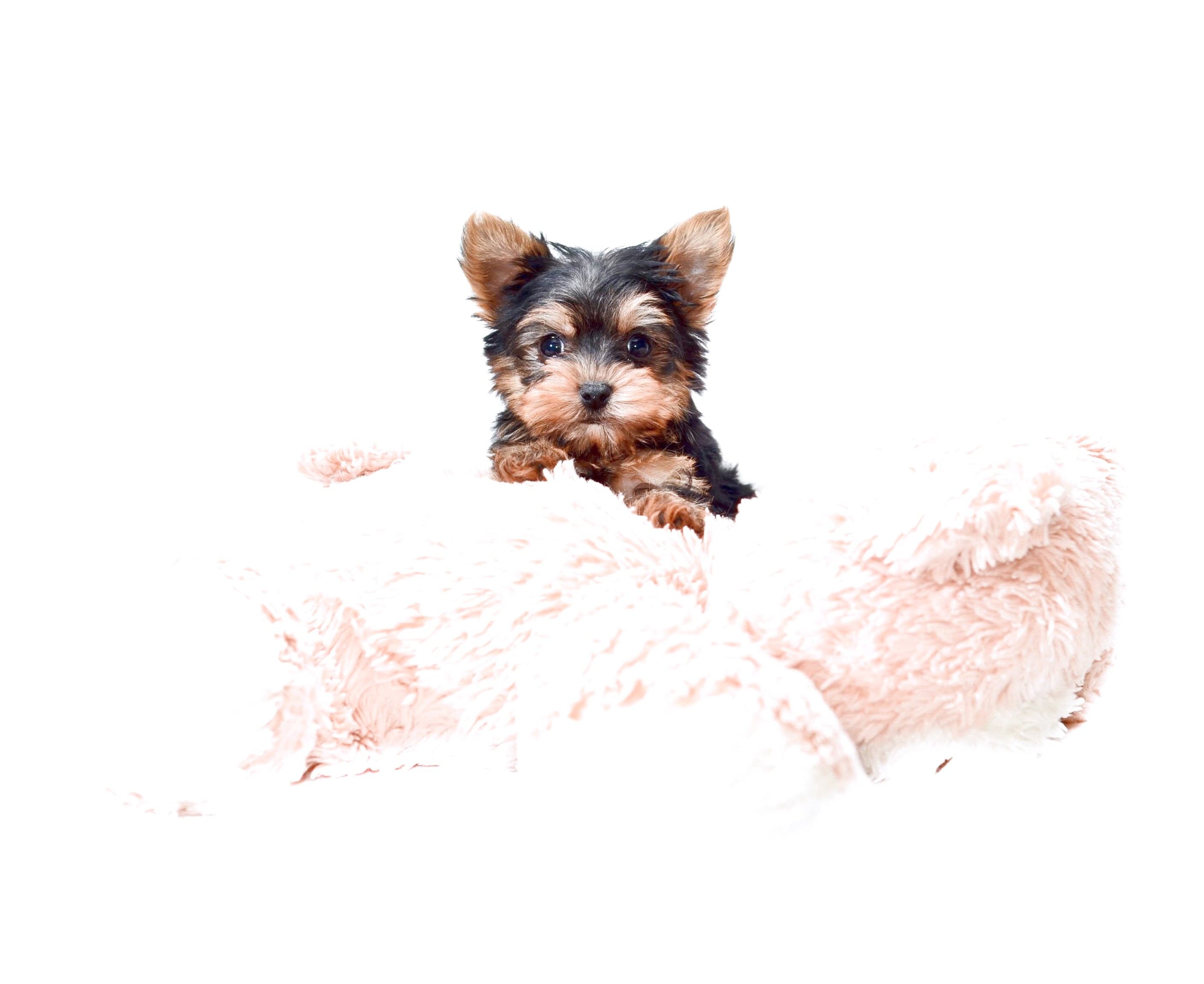 teacup yorkshire terrier for sale ontario