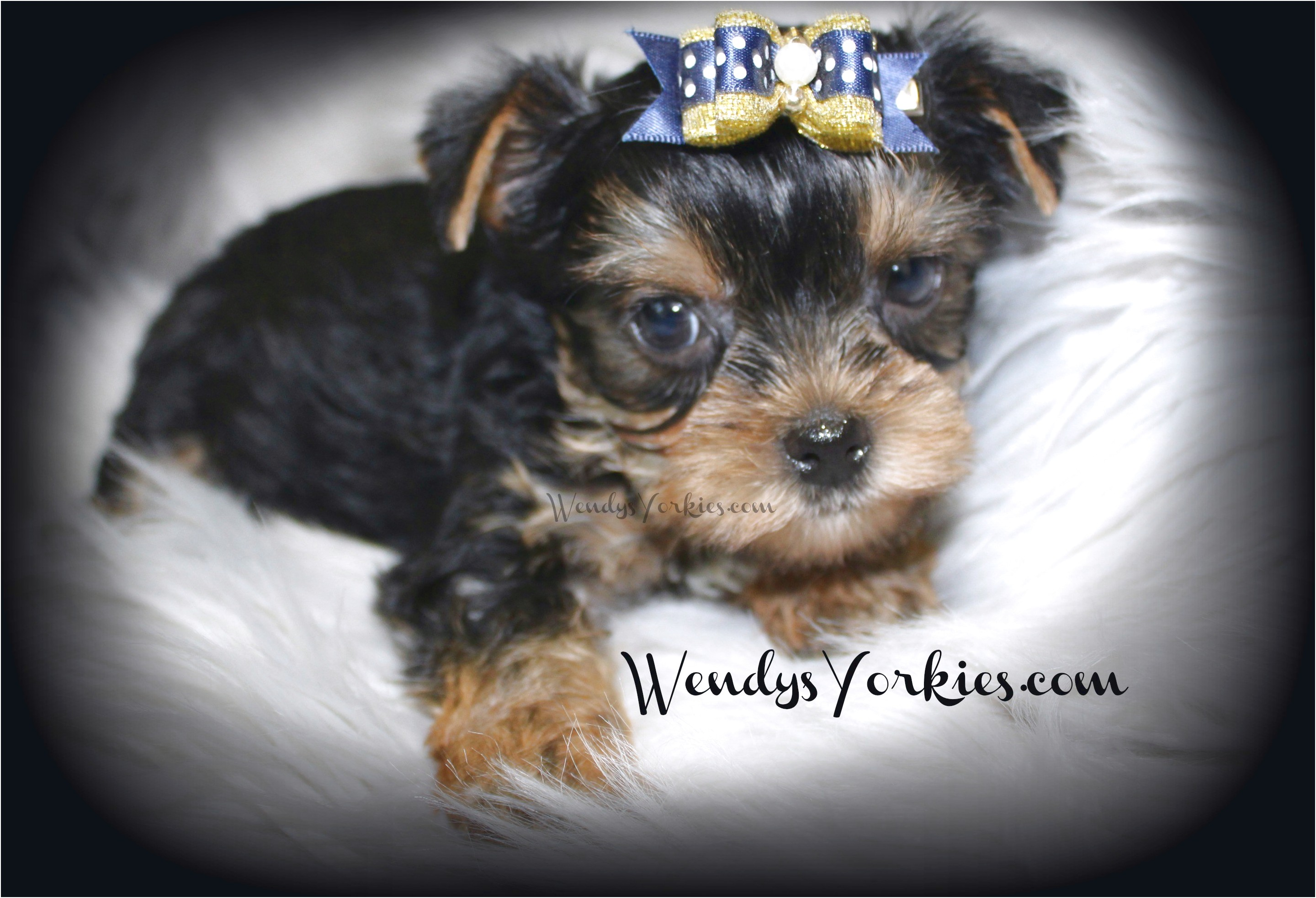 teacup yorkshire terrier for sale perth