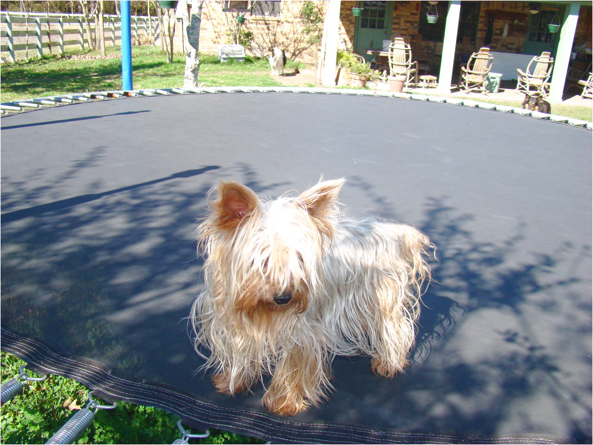 teacup yorkshire terrier for sale sydney