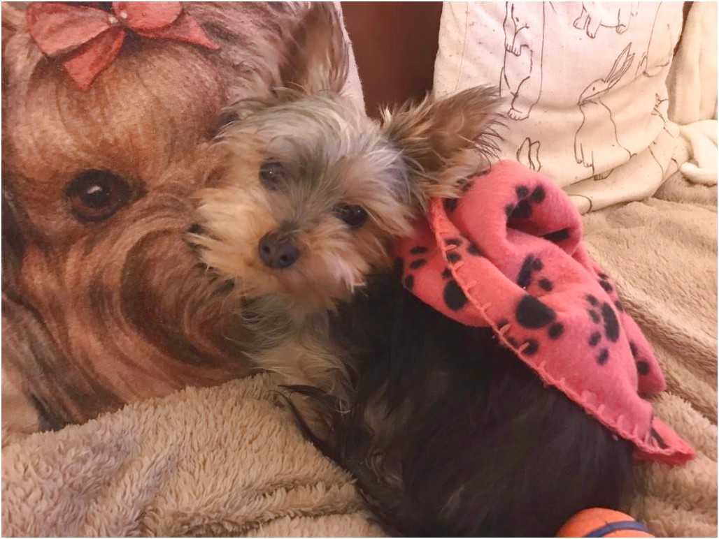 teacup yorkshire terrier for sale wales