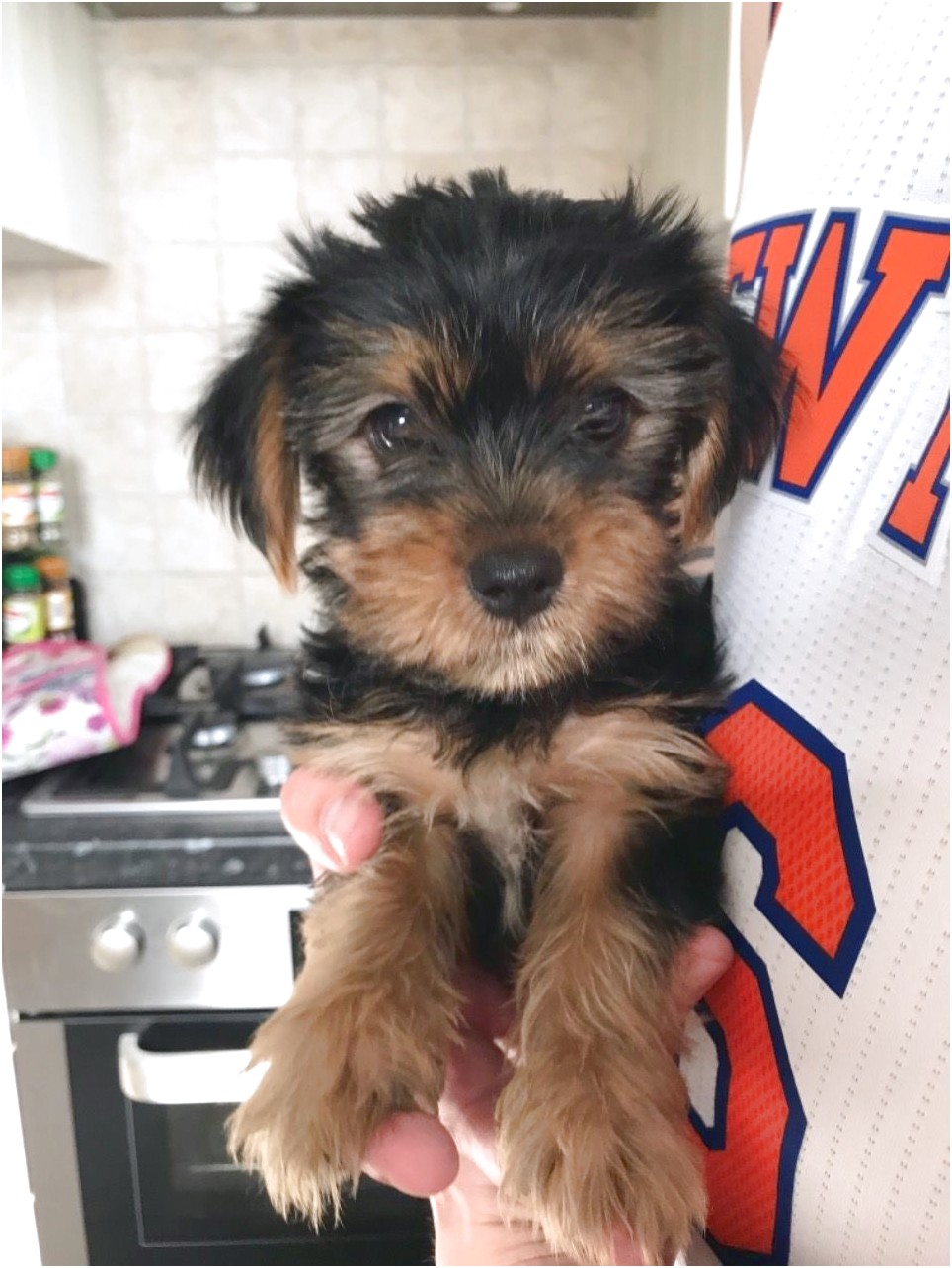 teacup yorkshire terrier puppies for sale bristol