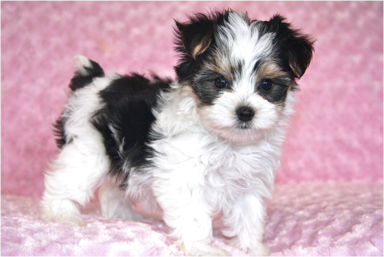 teacup yorkshire terrier puppies for sale hampshire