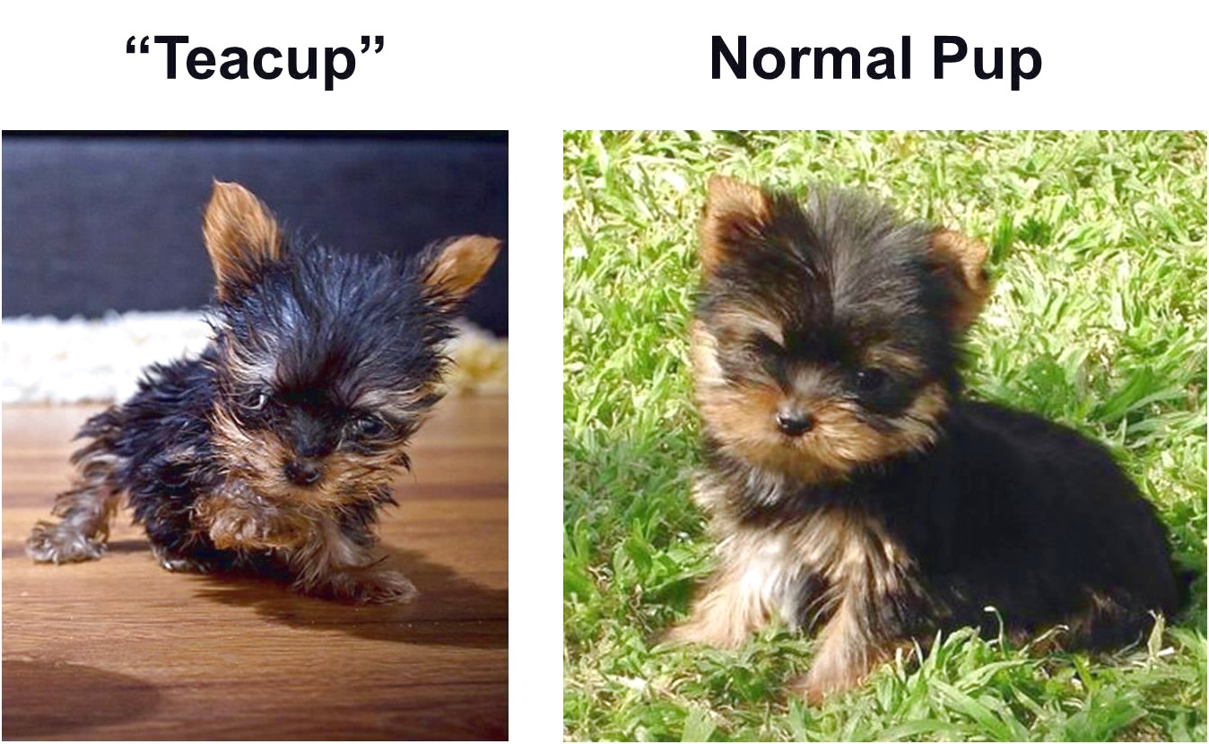 teacup yorkshire terrier puppies for sale johannesburg