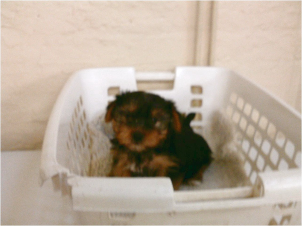 teacup yorkshire terrier pups for sale in northern ireland