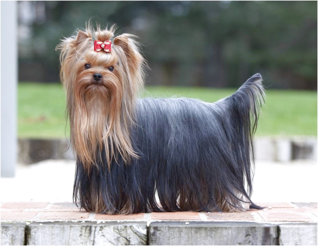 teacup yorkshire terriers for sale bristol