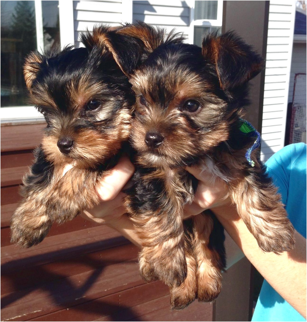 teacup yorkshire terriers for sale derby