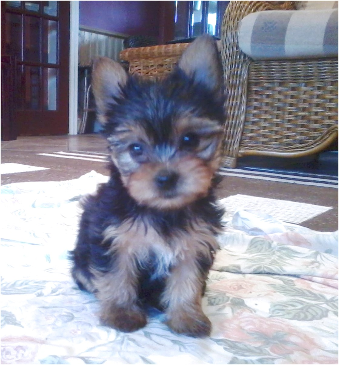 teacup yorkshire terriers for sale near me