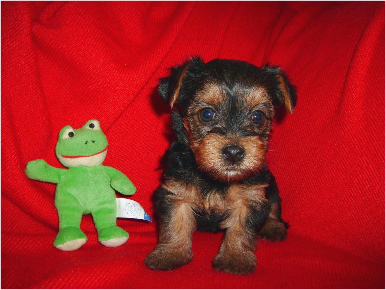 teacup yorkshire terriers for sale south yorkshire