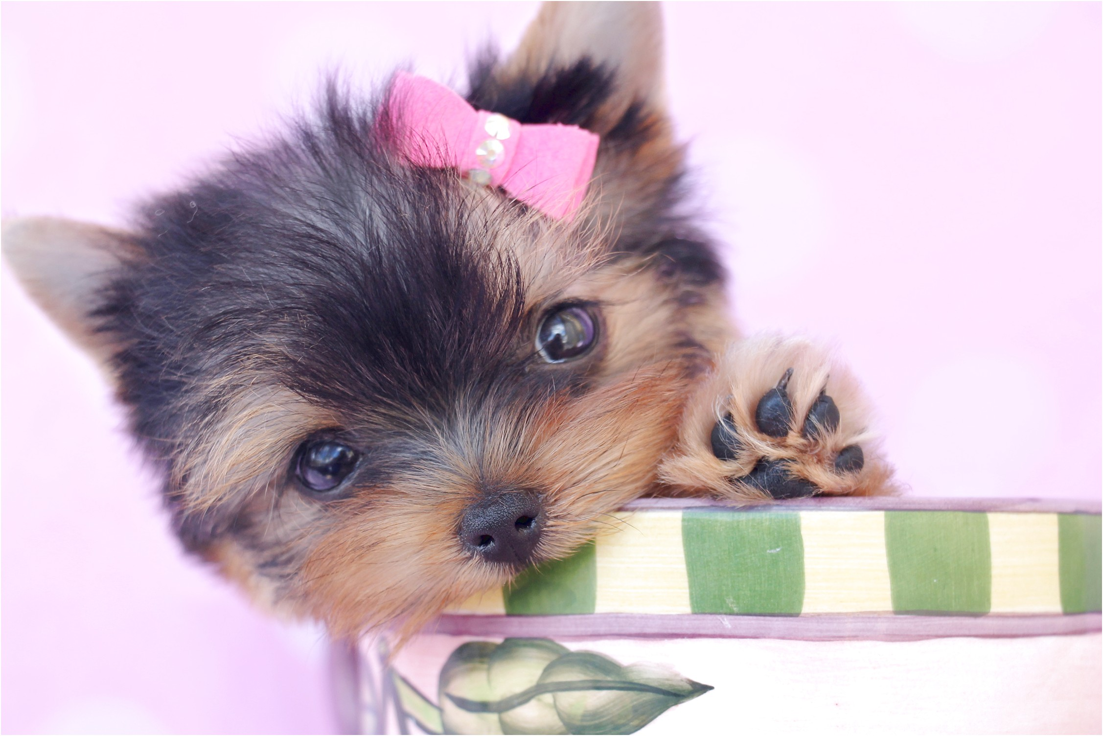 teacup yorkshire terriers for sale uk