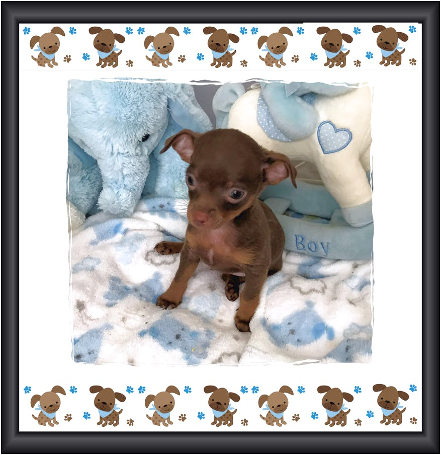 tiny teacup chihuahua puppies for sale in nc