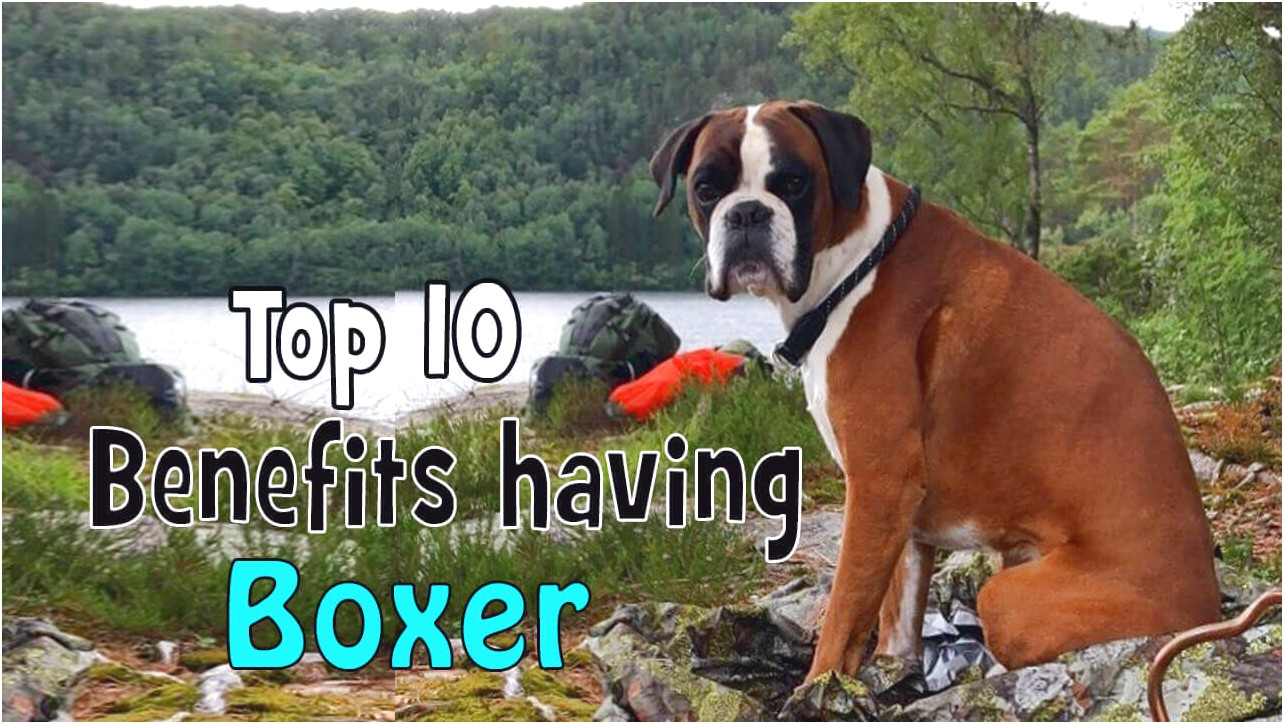 top 10 dog food for boxers