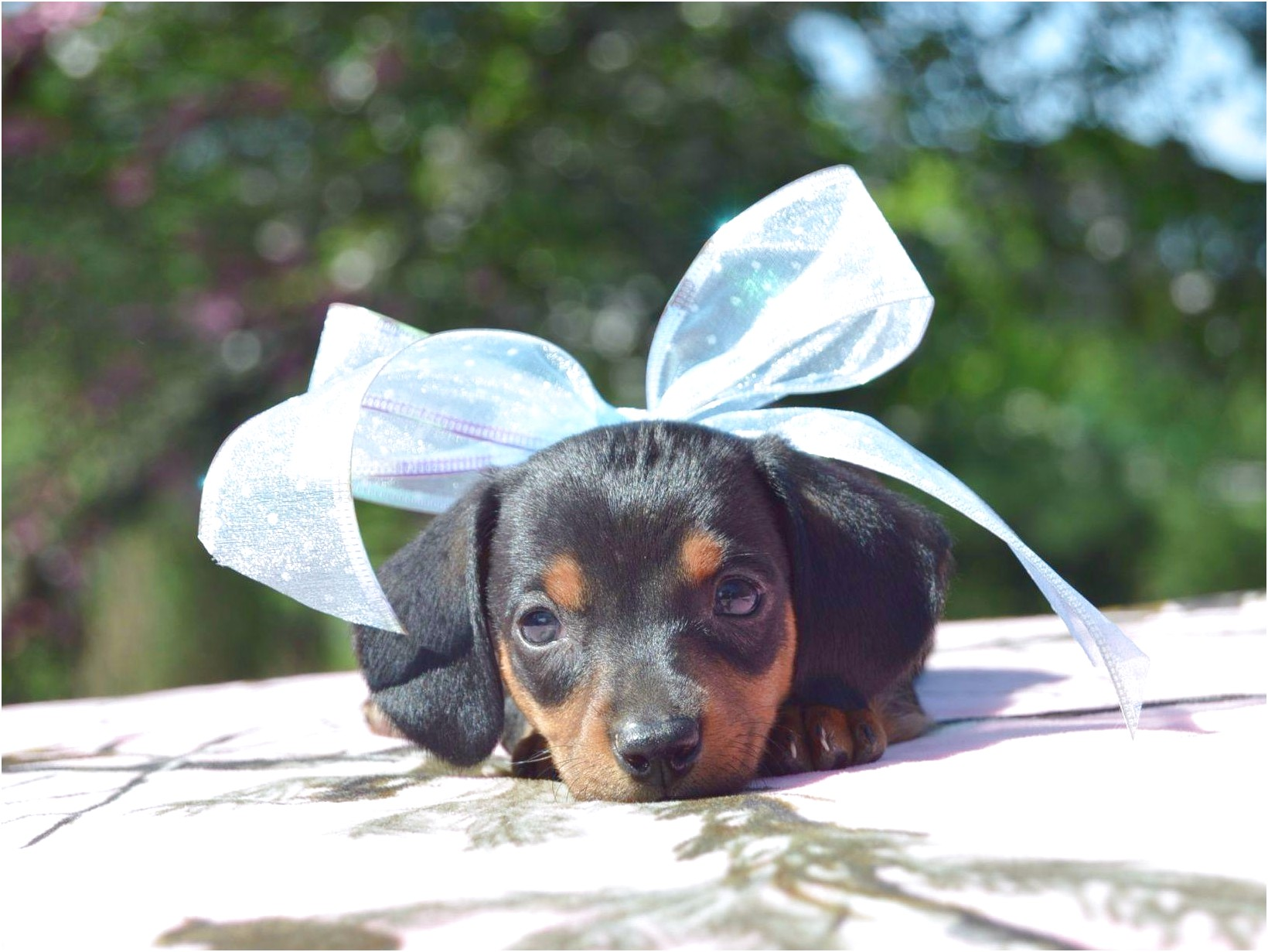 toy dachshund puppies for sale near me