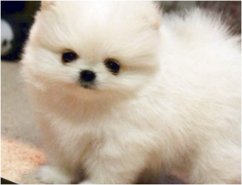 toy pomeranian for sale alberta