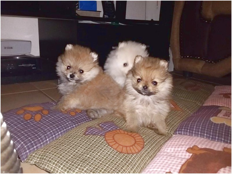 toy pomeranian for sale johannesburg