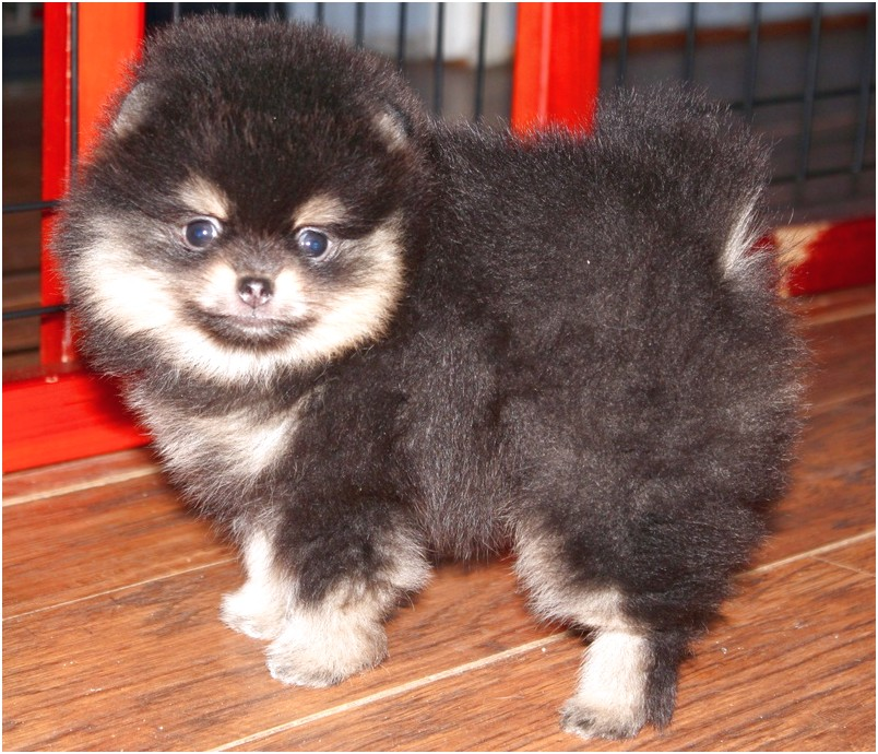 toy pomeranian for sale seattle wa