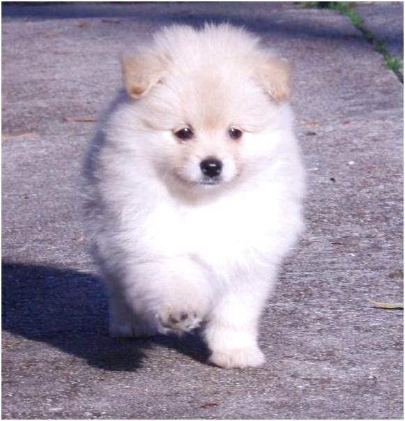 Toy Pomeranian Puppies For Sale In Houston