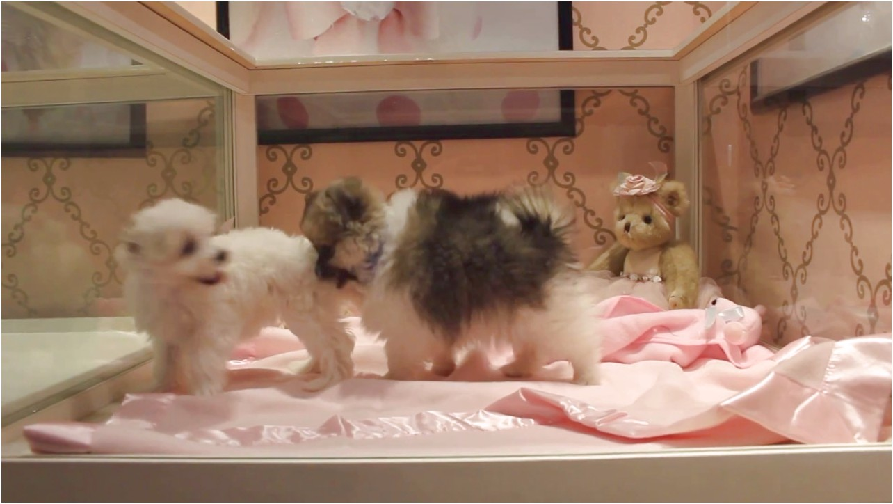 toy pomeranian puppies for sale miami